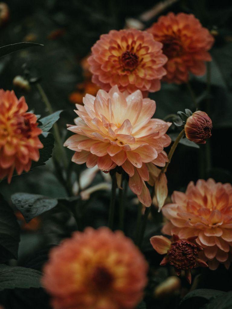 planter des bulbes d'automne, dahlia