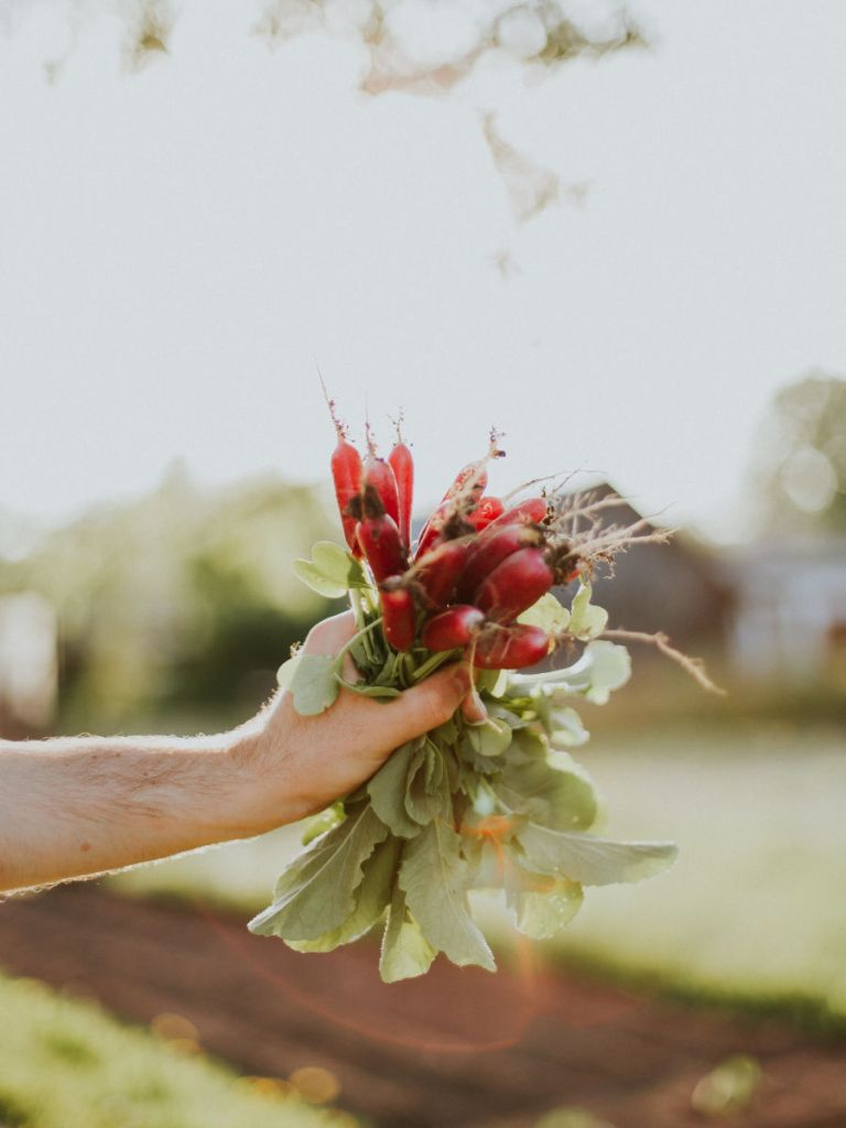 récolte d'une botte de radis en automne