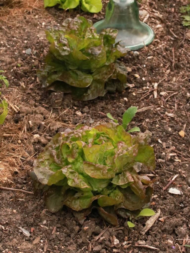 laitue qui pousse au potager de versailles, grand trianon, domaine de Marie-Antoinette