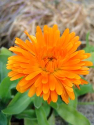 graines bios et reproductibles de souci calendula, plantes tinctoriales à faire pousser en pot sur un balcon ou une jardinière, teinture végétale