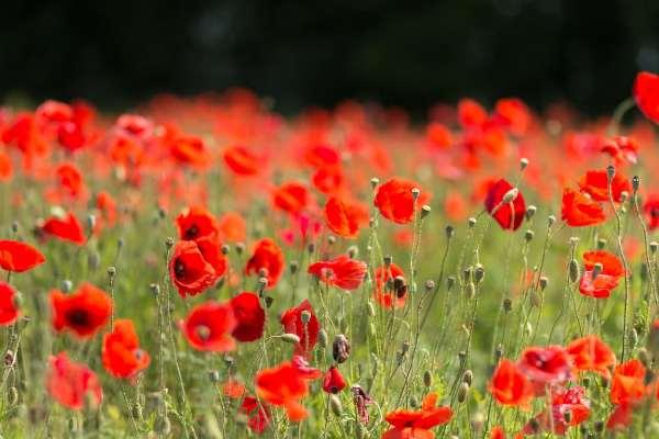 semer des graines de coquelicot en automne pour une prairie de fleurs mellifères, échoppe végétale