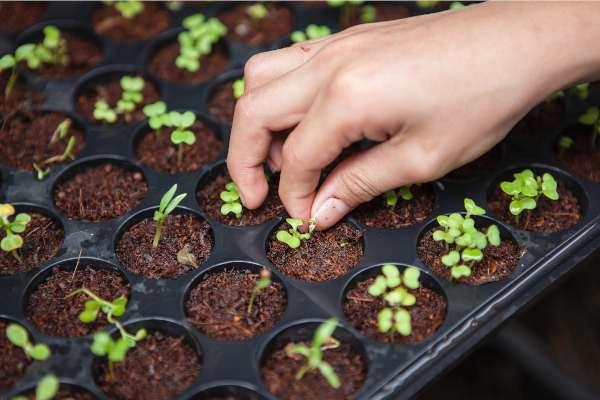 quelles graines semer au potager de balcon, échoppe végétale
