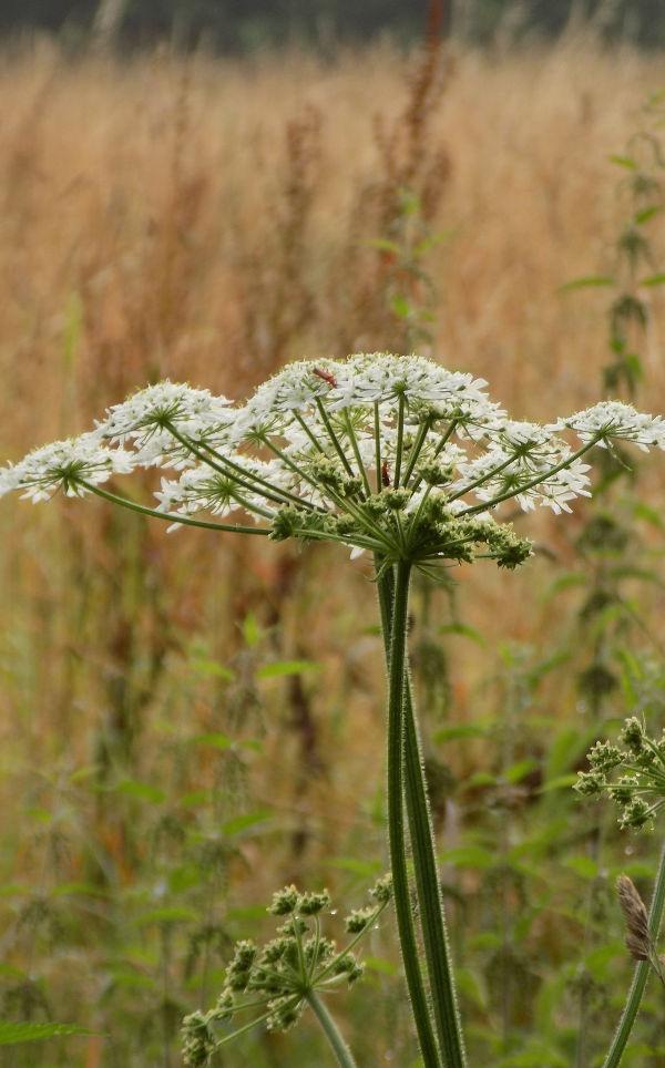 fleur d'angélique officinale au potager, conseils jardinage, plante aromatique, échoppé végétale