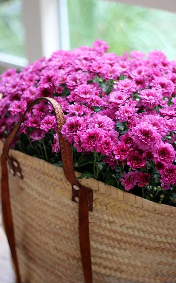 faire pousser des chrysanthèmes au balcon