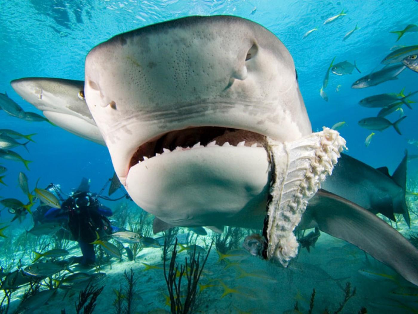 tiger shark wallpaper | 1400x1050 | #59192