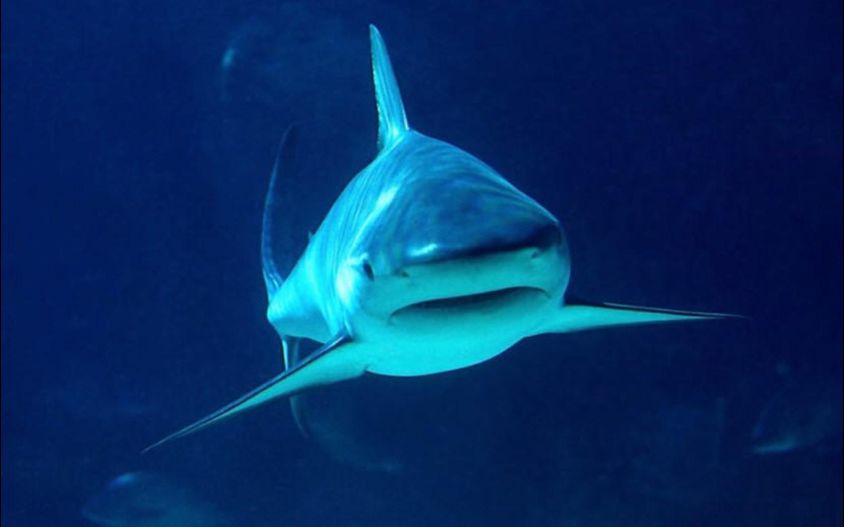 tiger shark wallpaper | 1680x1050 | #59191
