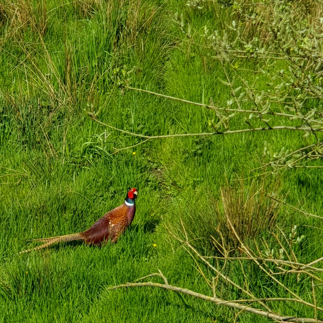 Kruibeekse polder - fazant