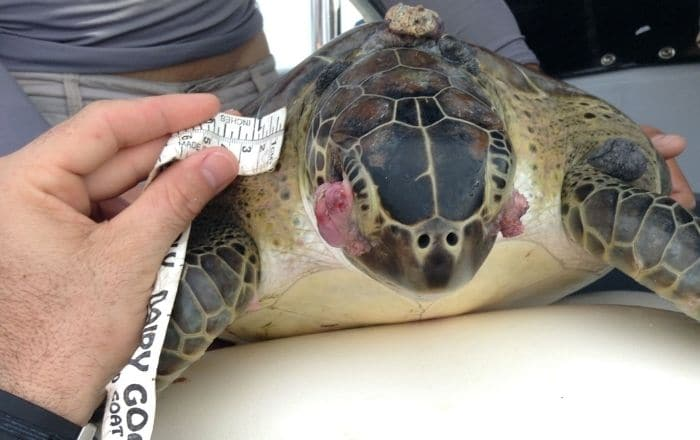 Puerto Rico entre los únicos lugares donde se estudia enfermedad en tortugas marinas