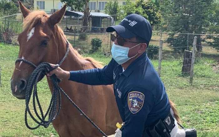 Recogen caballos realengos en Coamo