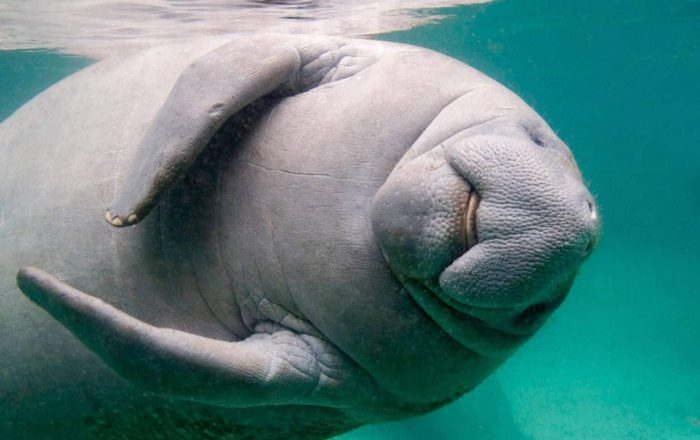 Llamado para proteger la vida marina durante estos días festivos y evitar la muerte de manatíes