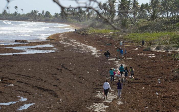 Sin rumbo el manejo del sargazo en Puerto Rico
