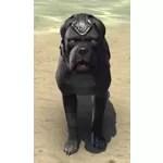 Alliance War Dog (Daggerfall Covenant)