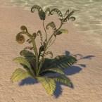 Fern Plant, Green Curly