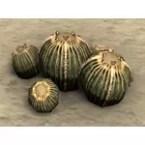 Cactus, Lemon Bulbs