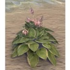 Plant, Paired Verdant Hosta