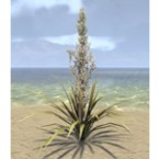 Plant, Tall Flowering Yucca
