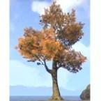 Tree, Autumn Maple