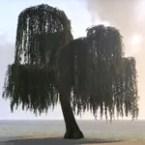 Tree, Gentle Weeping Willow