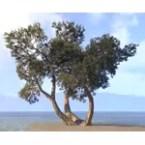 Trees, Sprawling Juniper Cluster