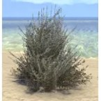 Plant, Healthy Sage