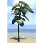 Plant, Tall Mammoth Ear