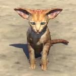 Big-Eared Ginger Kitten