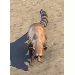 Alinor Ringtail