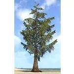 Tree, Foothills Pine