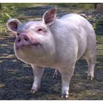 Pink Pearl Pig