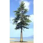 Tree, Great Lowland White Pine