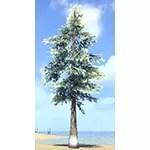 Tree, Great Snowy White Pine