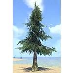 Tree, Lowland White Pine
