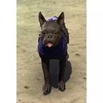 Covenant Breton Terrier