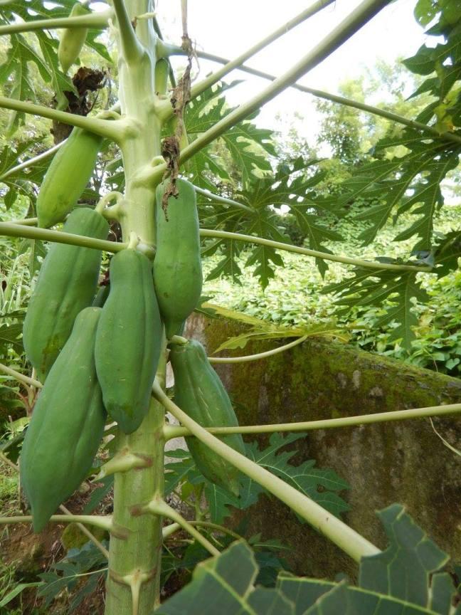 Un papayer de la ravine Besnard