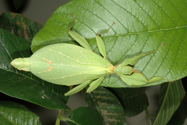 Phyllium philippinicum