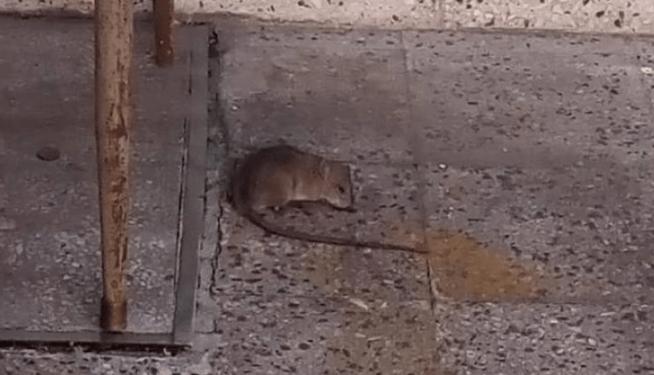 escuelas con ratas