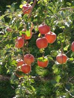 manzanos