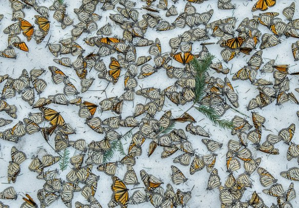 Natureza, 3.º lugar Jaime Rojo, Monarchs In The Snow