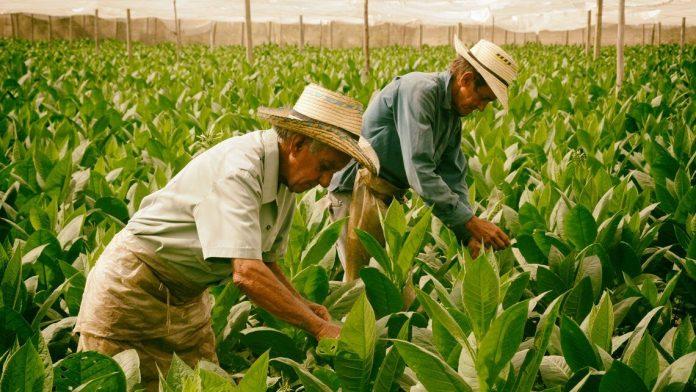 489 canarios de Cuba recibieron ayudas de urgencia el año pasado
