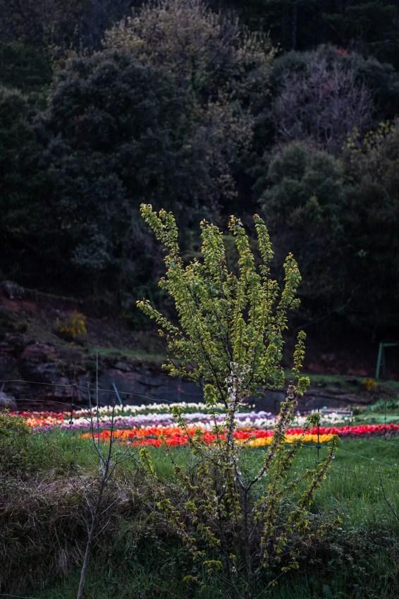 campo-tulipanes-barcelona