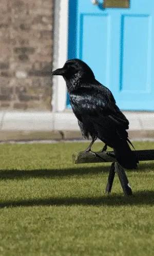 cuervo-curiosidades-londres