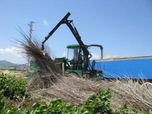 Un momento de la recolección del cultivo en Tahivilla.