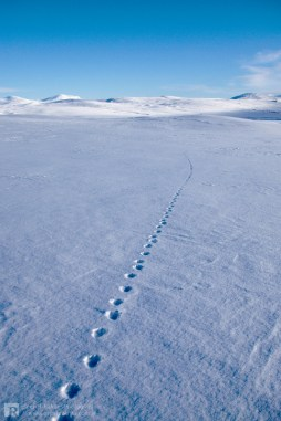 Footprints from a wolverine