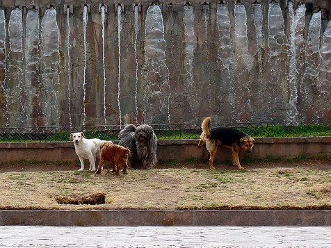 Dogs from Cusco, Perù