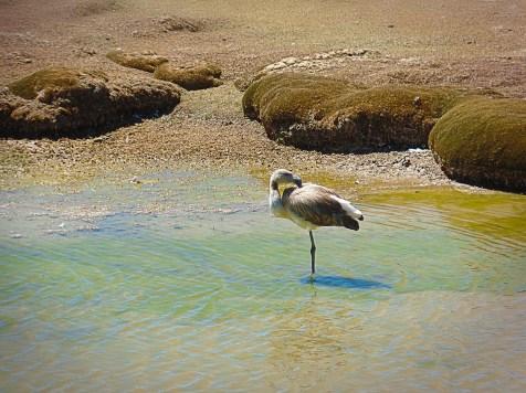 Fenicottero (Flamingo), Pampa de Toccra, Perù