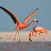 16-caribbean-flamingo-ria-lagartos_1600