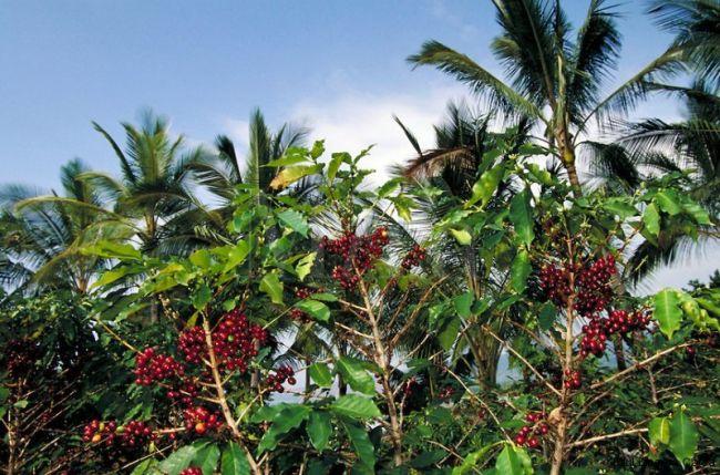 Tipuri de cafea cultivate la nivel industrial
