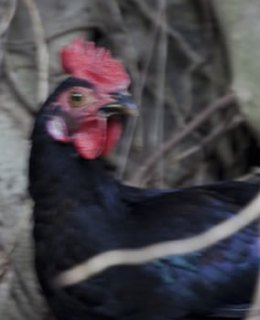 Coq, le symbole national du Portugal