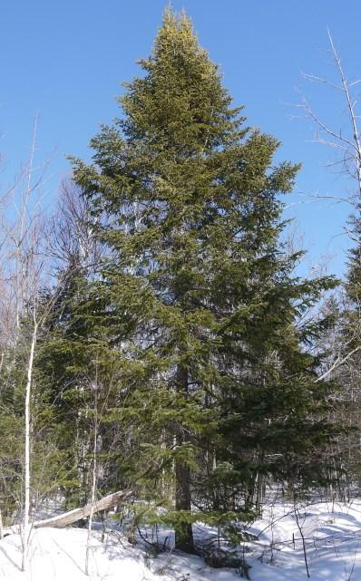 A balsamea Tree