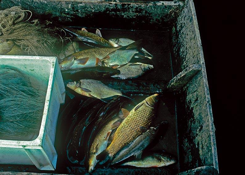 jean-gagnou-poissons-riviere-dordogne